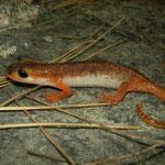 Bille's Salamander (Lyciasalamandra billae) female