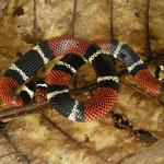aquatic coral snake (Micrurus surinamensis)