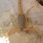 Schorpioen (Mesobuthus gibossus)