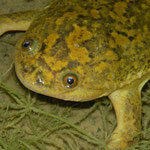 African Clawed Toad (Xenopus laevis)