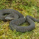 Adder (Vipera berus) dark individual #1