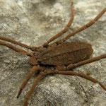 Strange arachnid (Trogulus spec.)