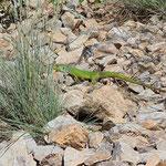 Balkan Green Lizard (Lacerta trilineata diplochondrodes)