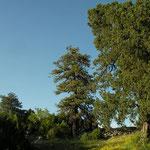 Last sunbeams to hit the Juniperus excelsa trees.