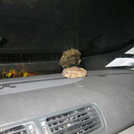 Toad in the car! © Trevor Willis