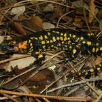 Fire Salamander (Salamandra salamandra crespoi), Vila do Bispo, Portugal, February 2016