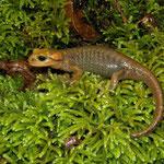 Vuursalamander (Salamandra salamandra alfredschmidti)