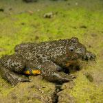 Yellow-bellied Toad (Bombina variegata scabra)