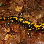 Corsicaanse vuursalamander (Salamandra corsica)