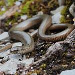Slow Worm (Anguis fragilis) © Laura Tiemann