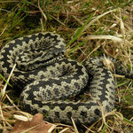 Adder (Vipera berus) freshly shed male.
