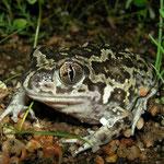 Western Spadefoot Toad (Pelobates cultripes), Algarve, Portugal, December 2010