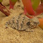 Coastal Horned Lizard (Phrynosoma blainvillii) juvenile