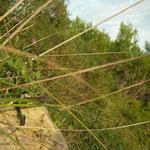 Balearenhagedis (Podarcis lilfordi)