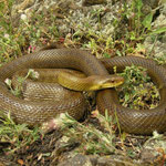 Italian Aesculapian Snake (Zamenis lineatus)