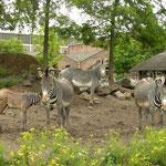 Zebra's