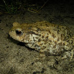 Common Toad (Bufo bufo) female