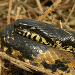 Russian Ratsnake (Elaphe schrencki) in situ close-up.