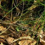 Zandhagedissen (Lacerta agilis) paring