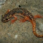 Luschan's Salamander (Lyciasalamandra luschani luschani)