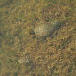 Roodwangschildpad en Balkanbeekschildpad