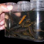 3 soorten watersalamanders...