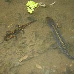 Vuursalamander (Salamandra salamandra) larve en Alpenwatersalamander (Mesotriton alpestris) mannetje.