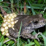Vroedmeesterpad (Alytes obstetricans) mannetje met eieren.