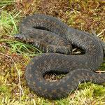 Adder (Vipera berus) dark individual #3