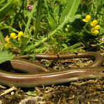 Italian Three-toed Skink (Chalcides chalcides)