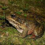 Dikke kikker: Northern Red-legged Frog (Rana aurora)