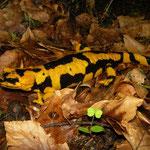 Fire Salamander (Salamandra salamandra gigliolii), Calabria, Italy, April 2014