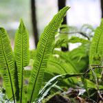 Hart's-tongue fern (Asplenium scolopendrium) © Laura Tiemann