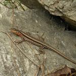 Oertzeni's Rock Lizard (Anatololacerta oertzeni)