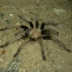 Desert Tarantula (Aphonopelma spec)