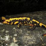 Vuursalamander (Salamandra salamandra bejerae x fastuosa)