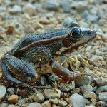 Iberian Water Frog (Pelophylax perezi) © Sjoerd van Bemmel