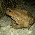 Common Toad (Bufo bufo), big female, Samos, Greece, July 2015