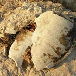 Schild van onechte karetschildpad (Caretta caretta).