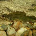 Macedonian crested newt (Triturus macedonicus)