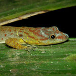 bridled forest gecko (Gonatodes humeralis)