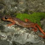 Irfan's Salamanders (Lyciasalamandra irfani) male