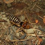 Jerusalem Cricket (Stenopelmatus fuscus)