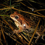 Moor Frog (Rana arvalis) reddish female