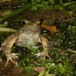 Italian Stream Frog (Rana italica)
