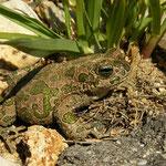 Green Toad (Bufo viridis)