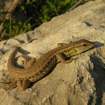 Snake-eyed Lizard (Ophisops elegans) basking in the late afternoon sun