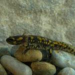 Fire Salamander (Salamandra salamandra) larva