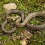 Aesculapian Snake (Zamenis longissimus) juvenile