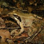 Italian Agile Frog (Rana latastei) adult